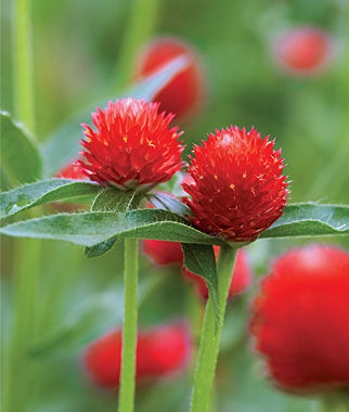 Gomphrena, Strawberry Fields, , large